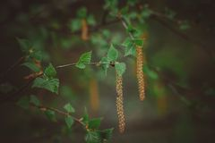 The birch catkins on the trees. Blossoming birch earrings on trees in the forest in spring in Russia royalty free stock photo