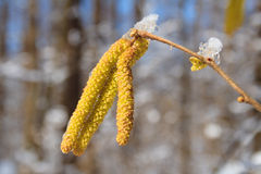 Birch catkins under the snow Stock Image