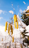 Birch catkins in winter. Long, yellow flowers called catkins on a birch tree in winter Royalty Free Stock Image