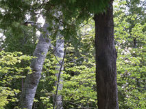 Birch and Cedar Forest Royalty Free Stock Photography
