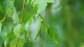 Birch close-up after summer rain stock footage
