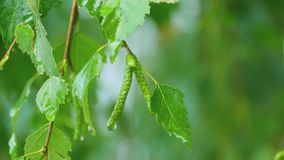 Birch close-up after summer rain stock video