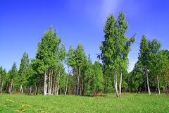 Birch copse Stock Photo