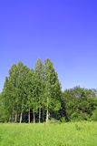 Birch copse Royalty Free Stock Photo