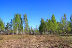 Birch copse Royalty Free Stock Images