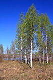 Birch copse Stock Images