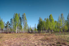 Birch copse Royalty Free Stock Image