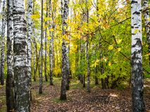 Birch copse in autumn fores. T of urban park stock photos