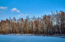 Birch copse on a frozen pond Royalty Free Stock Image