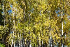 Birch copse lit by sun in forest of urban park. In sunny autumn day royalty free stock photography