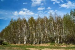Birch copse during spring. In Poland royalty free stock photography