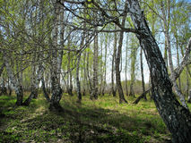 Birch copse. Spring landscape Royalty Free Stock Photos