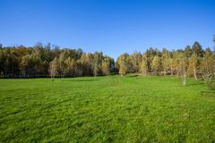 Birch copse on summer field Royalty Free Stock Photography