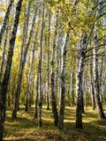 Birch copse of urban park in autumn. Birch copse of urban park in sunny autumn day royalty free stock photos