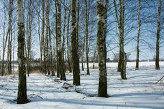 Birch copse in winter day. Birch copse and blue sky - winter view royalty free stock image