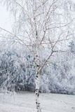 Birch covered with frost Stock Photo