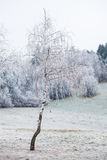 Birch covered with frost Stock Photos