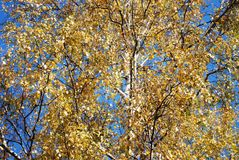 Birch Crown. Autumn Birch Tree Crown of Yellow Leaves for Background Stock Photo