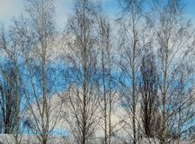 Birch crowns sailing through the sky. Tall birches look beautiful against a blue sky. It seems that they are floating in the sky royalty free stock photography
