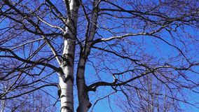 Birch on dark blue spring sky tilt stock video