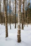 Birch deciduous tree forest in the snow at Big Bay State Park on Madeline Island in Northern Wisconsin.  royalty free stock images