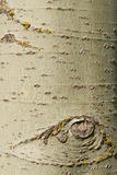 Birch. Detail of the birch bark Royalty Free Stock Images