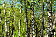 Birch different thickness background Royalty Free Stock Photography