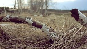 Birch dry tree branch grass nature landscape stock footage
