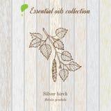 Birch, essential oil label, aromatic plant. Stock Image