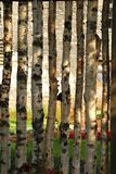 Birch fence. Fence made of young birch trees on a green meadow Stock Photo