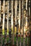 Birch fence Stock Photo