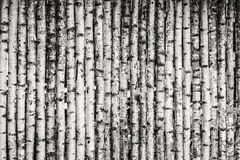 Birch Fence Background Stock Image
