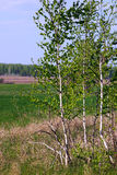 Birch in the field Stock Photo