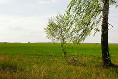 Birch in the field Royalty Free Stock Image