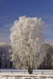 Birch in a field in winter Stock Photography
