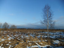 Birch in the field Stock Photography