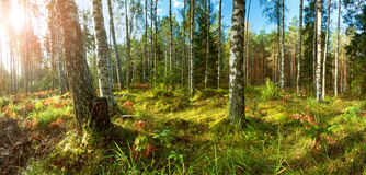 Birch and fir forest panorama Royalty Free Stock Images