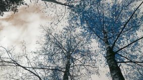 Birch In Fire IR-like color. Timelapse clip in 4K resolution IR-like color space stock video footage