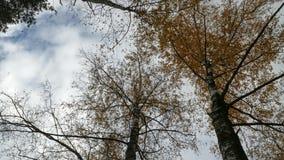 Birch In Fire. stock footage