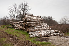 The birch firewood Royalty Free Stock Image