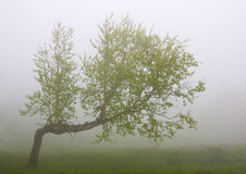Birch in fog Royalty Free Stock Image