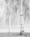 Birch Fog. Fog has the ability to transform a scene into something mysterious. Several birch trees around a frozen pond in the fog royalty free stock image