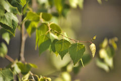 Birch foliage Royalty Free Stock Photo