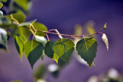 Birch foliage Stock Photo
