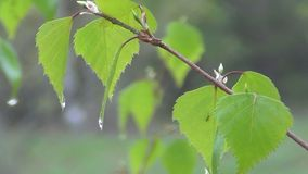 The birch foliage stock footage