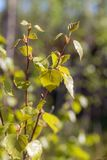 Birch foliage in spring day Stock Photography