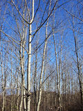 Birch forest. In autumn , scenery,hike Royalty Free Stock Images