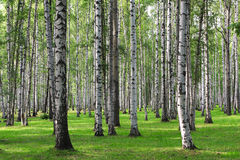 Birch forest Royalty Free Stock Photography