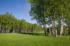 Birch forest Stock Photo
