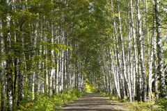 Birch forest. Birch alley on a sunny day Stock Photos